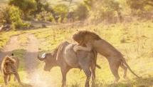 تصاویر/ حمله شیرهای خشمگین به بوفالو