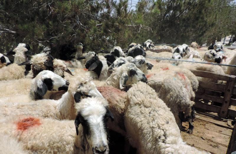 ۱۴۰ راس دام قاچاق در تفت توقیف شد