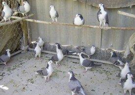 در دام کبوتر!