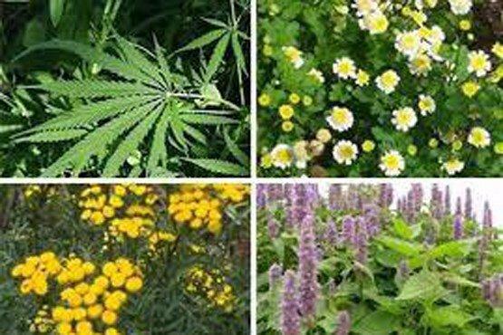 صادرات گیاهان دارویی بهترین جایگزین محصولات کشاورزی آببر و نفت