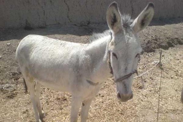 شناسایی عامل بریدن گوش الاغ در مازندران