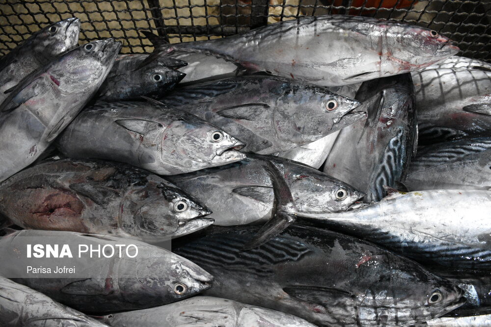 جاساز ۱۰۰ کیلو حشیش در بار ماهی!