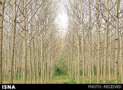 آنچه باید درباره «زراعت چوب» بدانید
