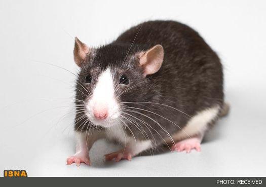 معضل هجوم موشها به استرالیا و خطر استفاده از دانههای سمی